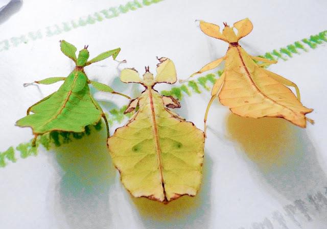 الحشرات الورقية p1230111[1].jpg